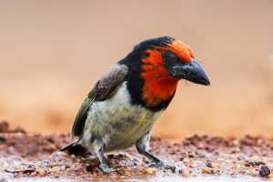 Black-collared-barbet-photographed- from-a-birdhide