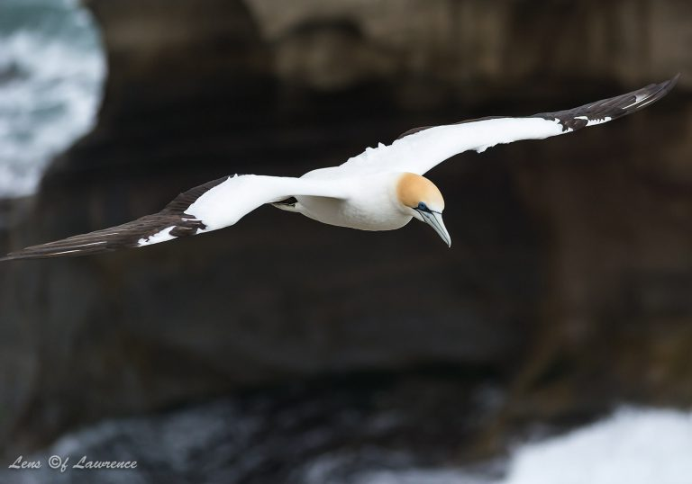 Gannets are easy to photograph in flight as they tend to float on wind currents