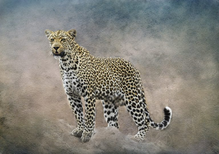 tack sharp photo of a Beautiful Leopard With the Background Bush/Distractions replaced with artistic backdrop