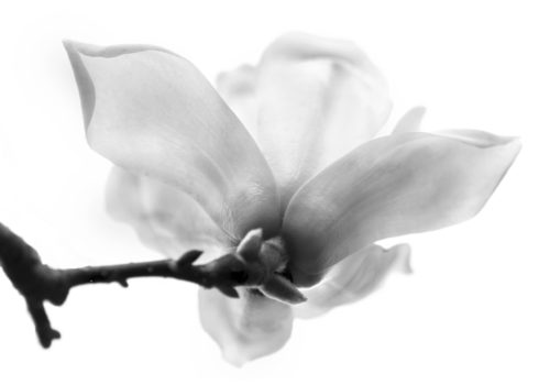 A magnolia shot from below against a white sky