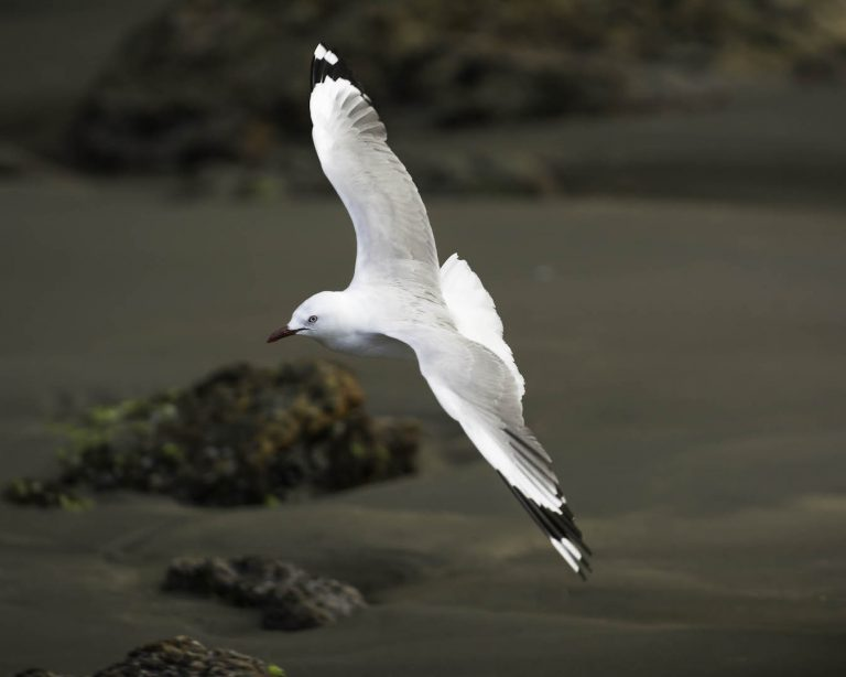 Seagulls in flight are easily handled as they come into land