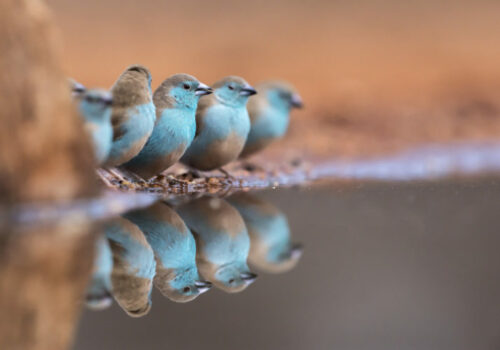 A photo of a group of 5 Blue Waxbills with the centre bird being the main focal point and in very sharp focus