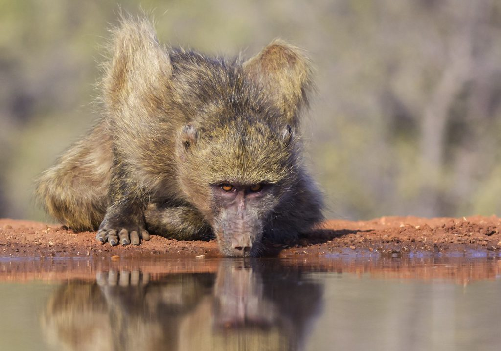 A tack-sharp photo of a baboon drinking water showing great detail in the face and fur