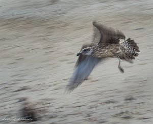 A bird in flight showing action in the wings with a sharply focused head is quite challenging