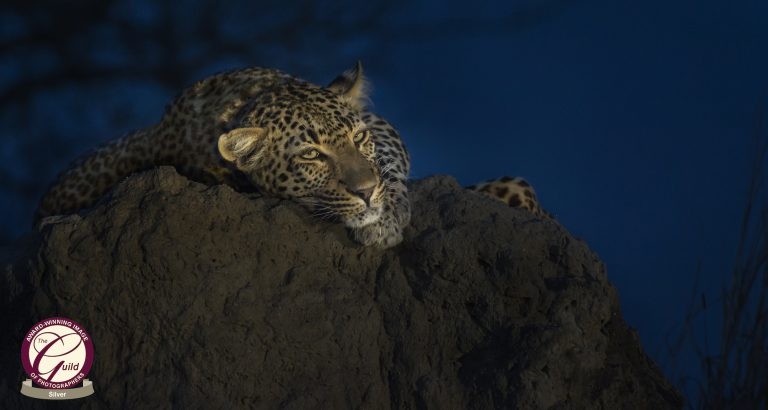 My Photo Skills Leopard on anthill shortly after sunset in what is known as the blue hour