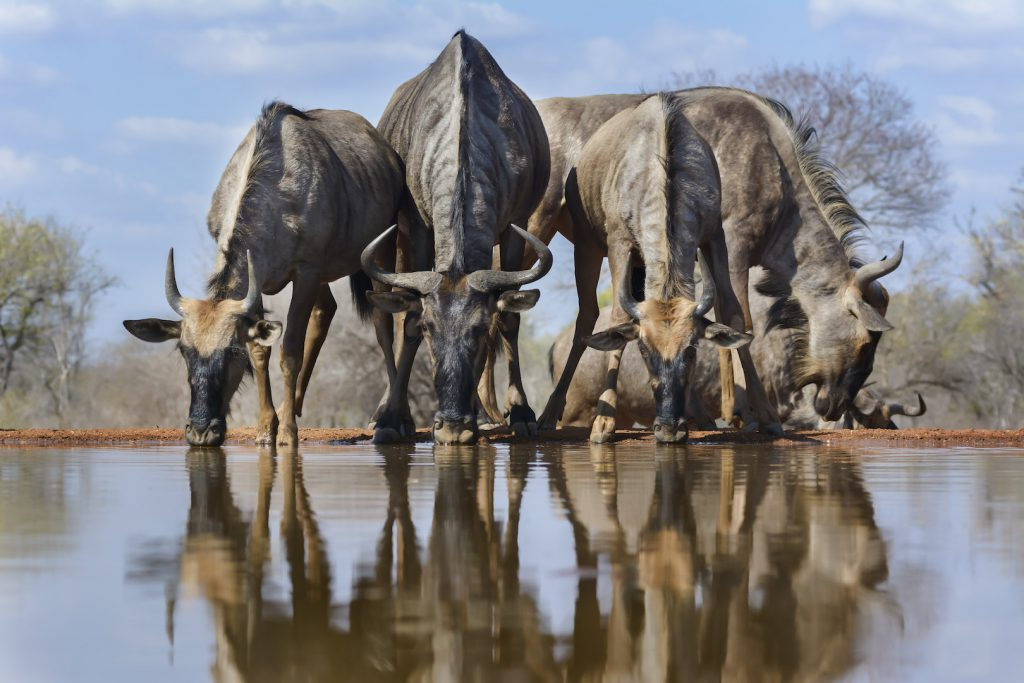 A tack sharp photo of Wildebeest at a waterhole taken from a low angle
