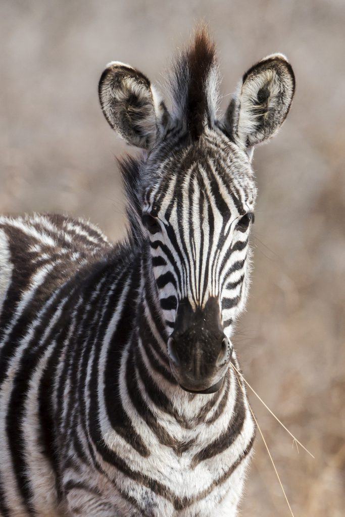 A photo of a Zebra foal with a blade of dry grass in its mouth
