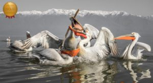 Cold Weather Photography Tips Pelicans fighting over food
