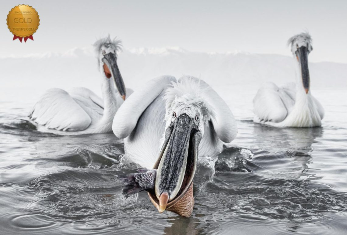 Cold Weather Photography Tips Pelicans