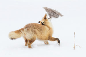 Cold-Weather Photography Tips Fox in winter