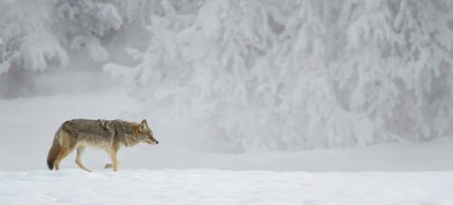 Cold Weather Photography Tips lone Fox in snow